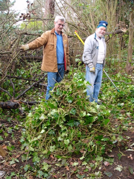 A big pile of Ivy pulled by Pat Haugen and Ted Daley