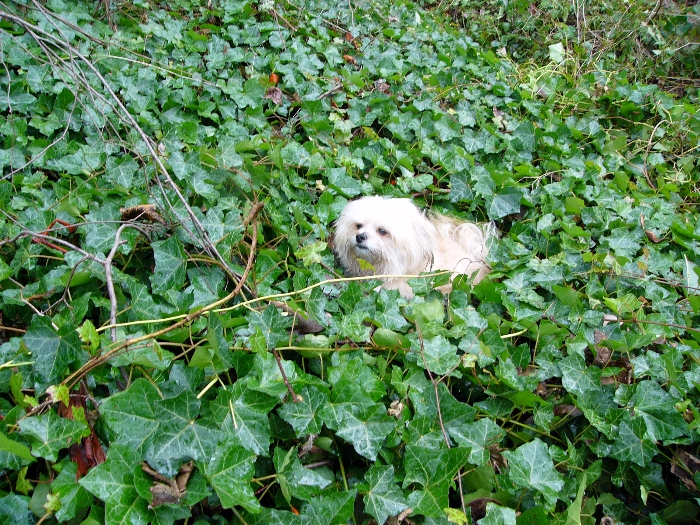 Small dog engulfed by English Ivy